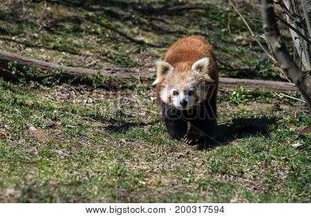 Red panda or ailurus fulgens in the nature