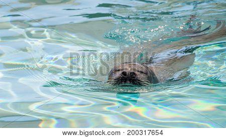 Very Cute grey seal in the water