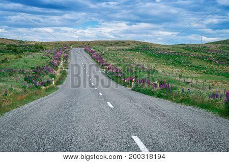Road In Lupine Field, New Zealand