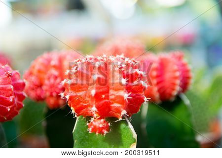 Decorative cactus with red fruit on top
