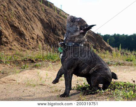 Dog French bulldog looks up. Summer nature