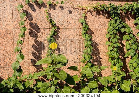 Climbing Fig are beautiful plant and wall is overgrown with greenery. Yellow flower.