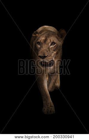 Female African Lion In The Dark
