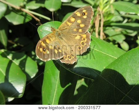 A butterfly with wings all open leaning on a leaf resting and warming in the sun