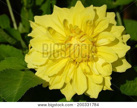 Dahlia (Dahlia), beautiful garden flowers of summer