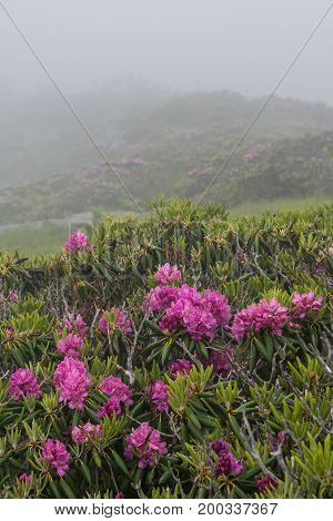 Fog Engulfs Rhododendron Blooms