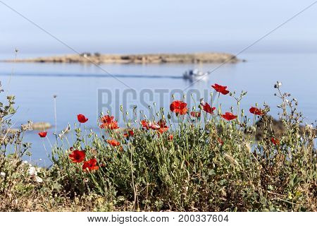 Red field poppies against the backdrop of the sea on a sunny day