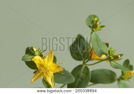 St John's wort (Hypericum perforatum) flower close up
