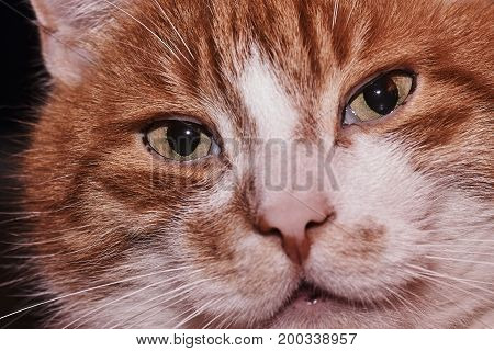 Portrait of a white-red-haired domestic cat in Poland