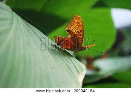 Beautiful Australian orange leafwing butterfly on a leaf