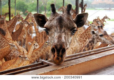 Bangkok, Thailand- September 2013: The most adorable giraffe