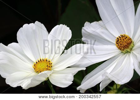 The plants of Cosmea of Cosmos have very nice decorative leaves, they are available in countless colors