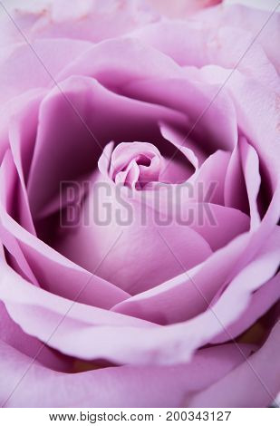 Pastel purple, mauve color fresh summer rose macro shot, natural abstract petals background