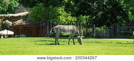 Zebra on the green lawn in the Moscow Zoo.