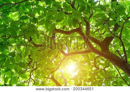 Green Cananga Odorata Tree Is A Tropical Tree That Originates In Indonesia.