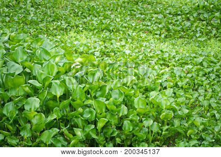 Eichhornia Crassipes, Commonly Known As Water Hyacinth