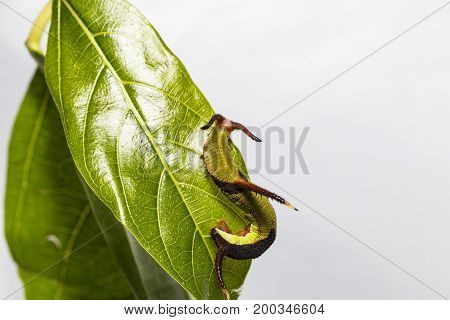 Caterpillar Of Common Map (cyrestis Thyodamas ) Butterfly Resting On Host Plant Leaf