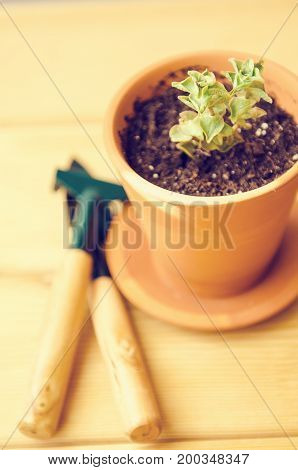 Green house plants in brown clay pots on an old wooden background. Ficus, monstera and succulent. Gardening tools.