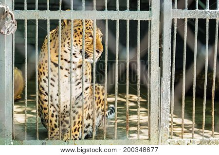 A leopard in captivity life in a cage koncepcia the protection of animals