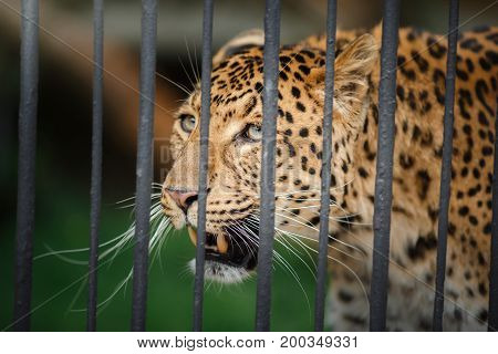 Leopard looks through the bars of the cage