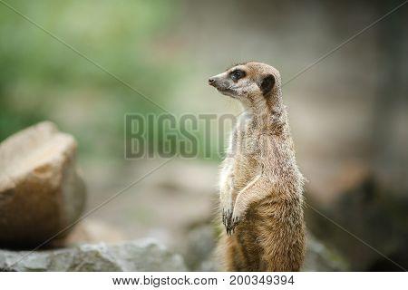 Meerkat Standing On Stone
