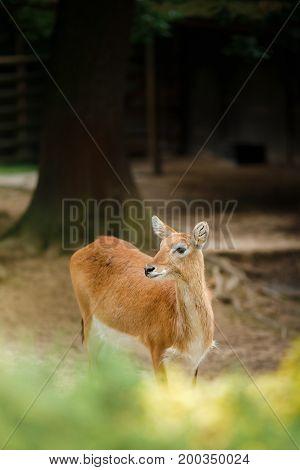 Deer In A Cage
