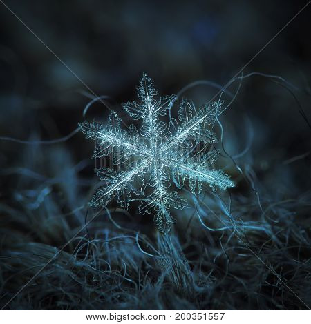Real snowflake macro photo: large stellar dendrite snow crystal with complex shape, fine hexagonal symmetry and long, elegant arms with many side branches. Snowflake glowing on dark blue background.