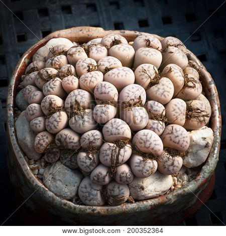 a pot full of lithops living stone Africa plants