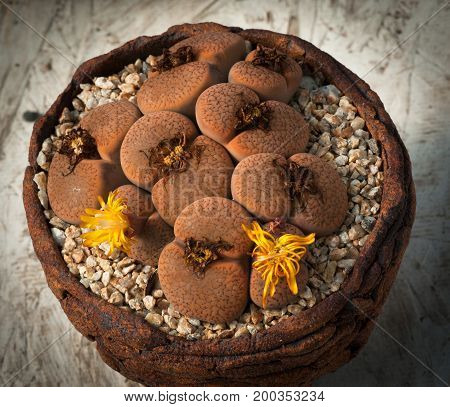 A pot full of brown lithops with yellow flowers