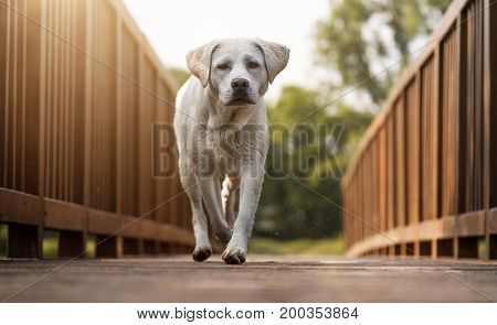 young labrador retriever dog puppy runs over a wooden bridge by sunset