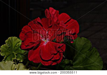 Photo of a bright hot red Pelargonium flower with blurred green leaves on blurred dark background