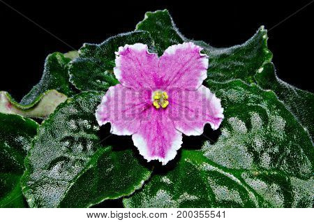 Photo of pink shiny terry iridescent shimmer Saintpaulia flower with yellow stamens white border and green leaves on black background