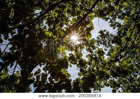 Oak tree seen against the sky with the sun shining through