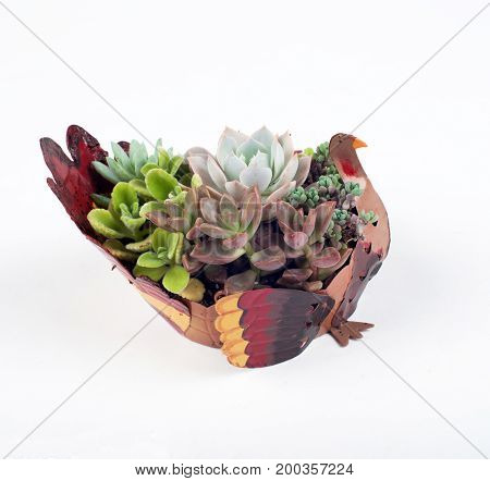 echeveria arrangements in a metal turkey-shaped planter , holiday plant decoration  display