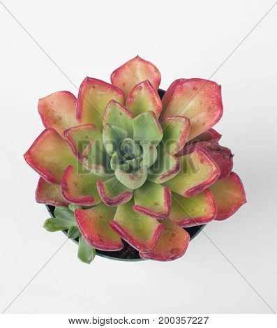photo of a pot of echeveria goochie with white background