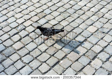 single dove walking on cobblestones in city