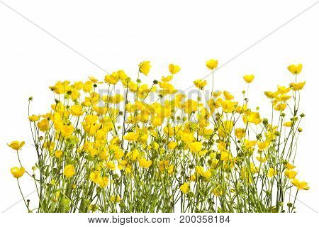 Blossoming yellow buttercups isolated on a white background.