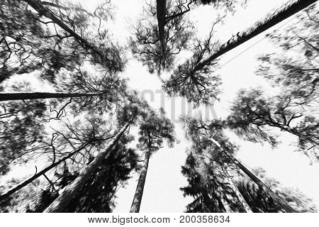 Tall pine trees viewed from the ground