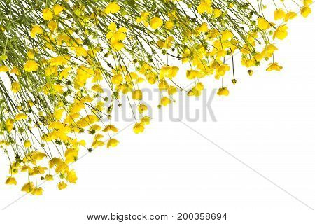 Frame with yellow buttercups on a white background.