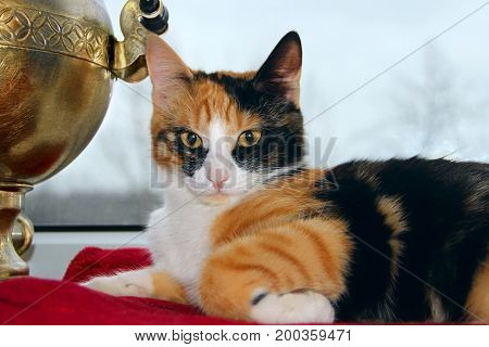 Three-colored cat lays a window and looking at camera