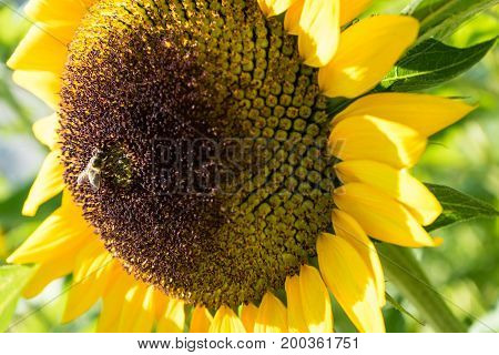 Sunflower close up with bee on plant green leaf