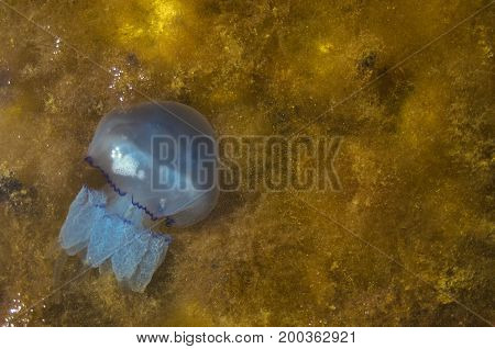 Blue jellyfish in sea on seaweed texture. Sea concept background with copyspace.