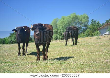 Cows and buffalo are important for milk and fattening