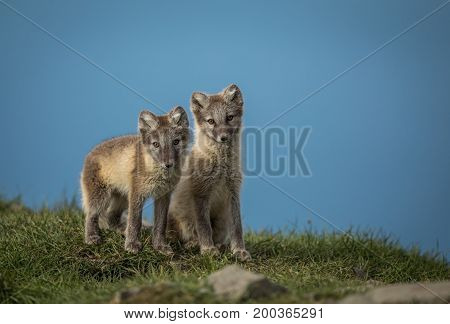 Arctic fox cubs in Svalbard, they are from a litter of four cubs living close to Longyearbyen, picture from august 2017