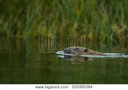 Beaver Castor fiber, swimming in Tovdalselva, a norwegian river.