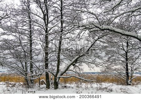 Winter landscape with snow, alder trees and common reed in Norway, FredrikstadOra Nature Reserve.