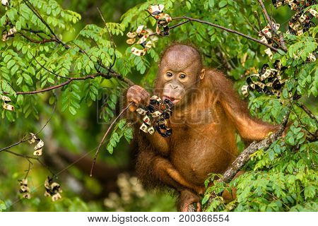 This wild young orangutan is climbing the rainforest trees to find red berries to eat.