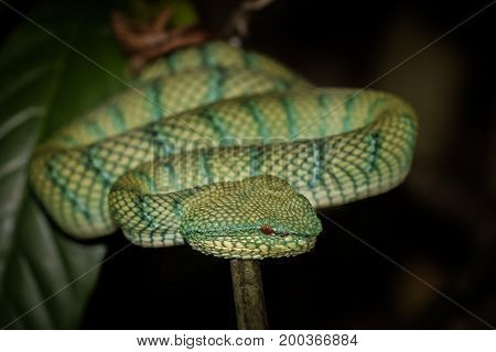 Pit Viper female found in a bush at Bako National Park Borneo.