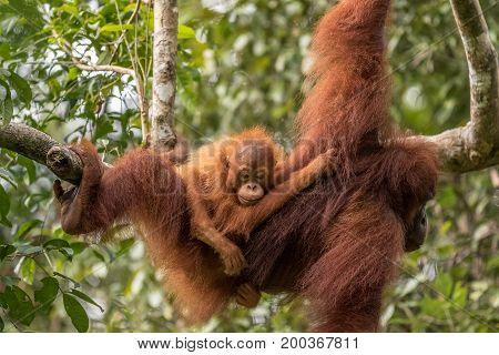 Free living orangutan mother with child. Malaysia part of Borneo, Sarawak.