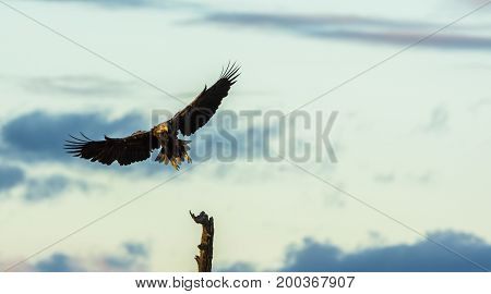 White Tailed Eagle, Haliaeetus albicilla landing in a tree top, horizontal with copy space on top and right side
